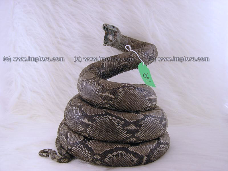 Snakeskins Python Skin Taxidermy Mount Stuffed 9.92 ft Large