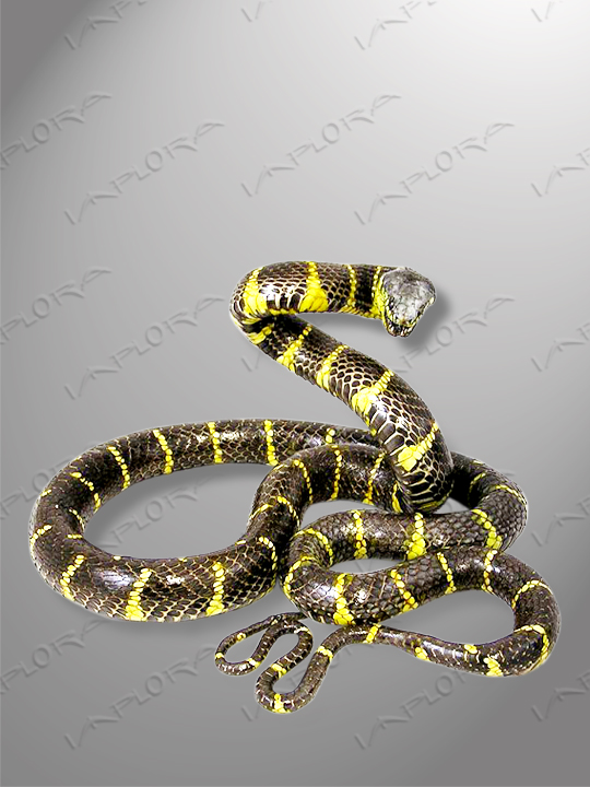 Snakeskins Mangrove Snake Taxidermy Mount Style 3