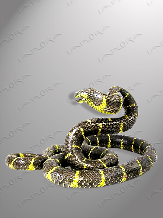 Mangrove Snake Taxidermy Mount Style 3