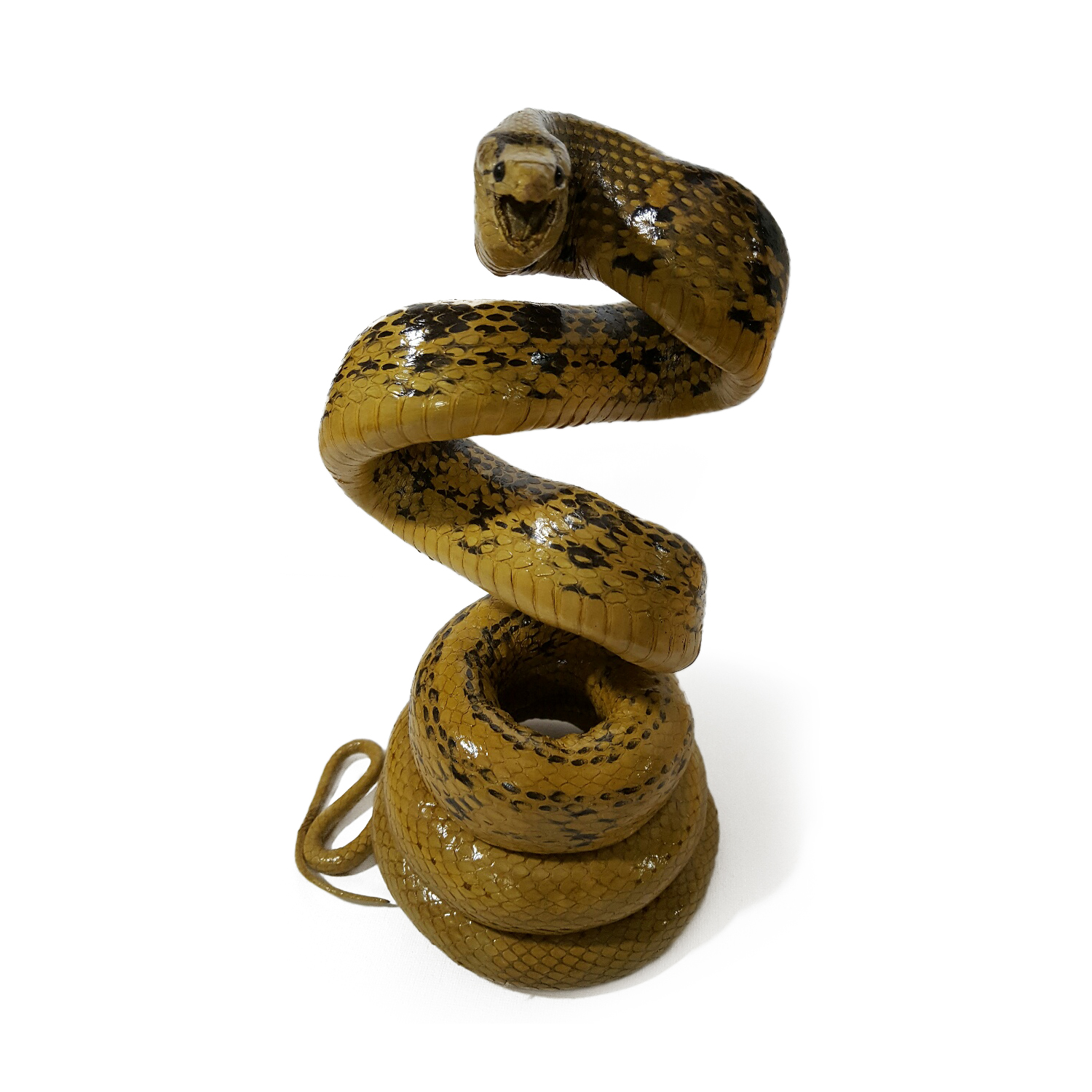Snakeskins Copperhead Racer Snake Coiled Taxidermy Mount